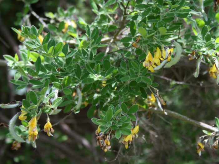 Follaje Cytisus villosus