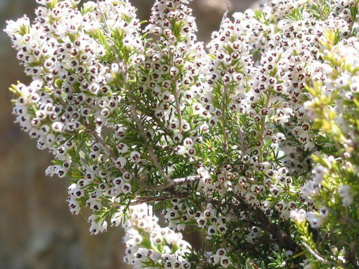 Floración Erica arborea