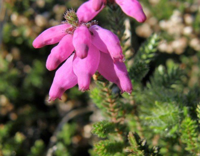 Floración Erica ciliaris