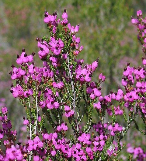 Floración Erica umbellata