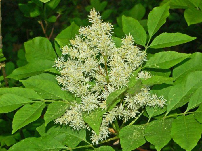 Floración Fraxinus ornus L.