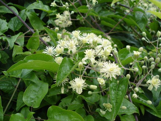 Floración Clematis vitalba