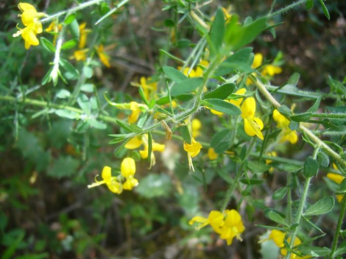 Floración Genista falcataBrot.