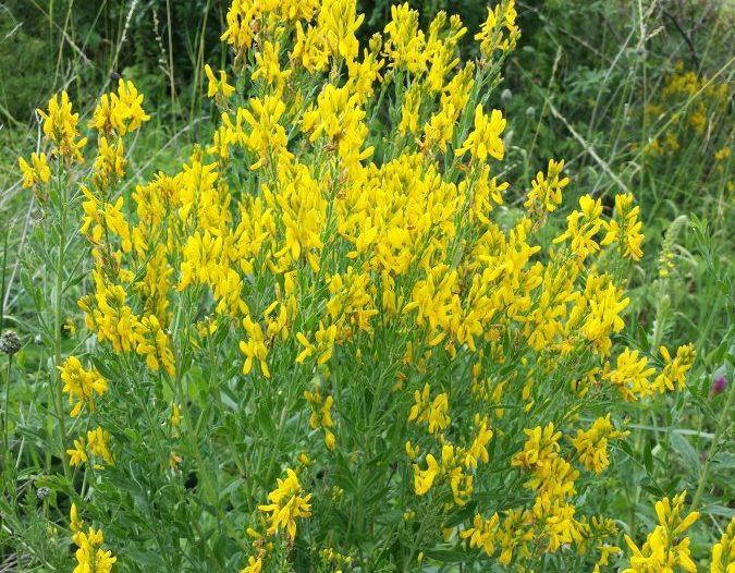 Floración Genista tinctoria L.