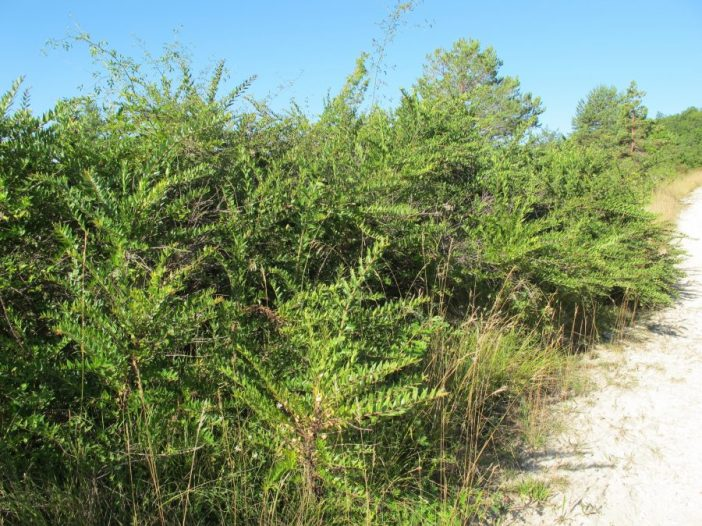 Porte Coriaria myrtifolia