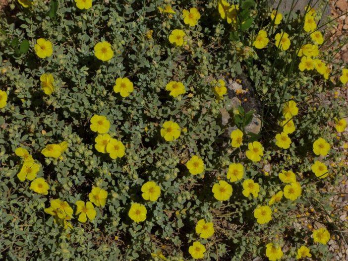 Porte Halimium atriplicifolium