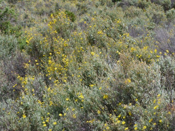 Porte Halimium halimifolium Willk