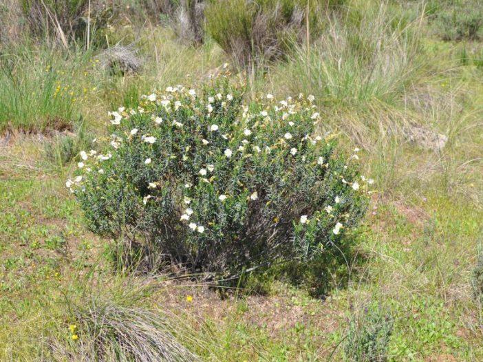 Floración Halimium umbellatum