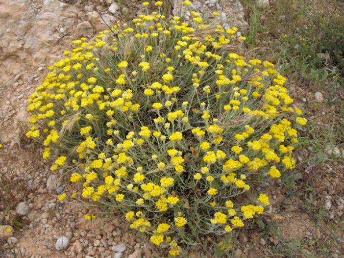 Porte Helichrysum stoechas