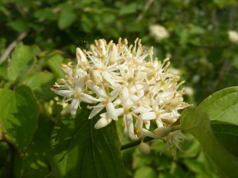 Floración Cornus sanguinea