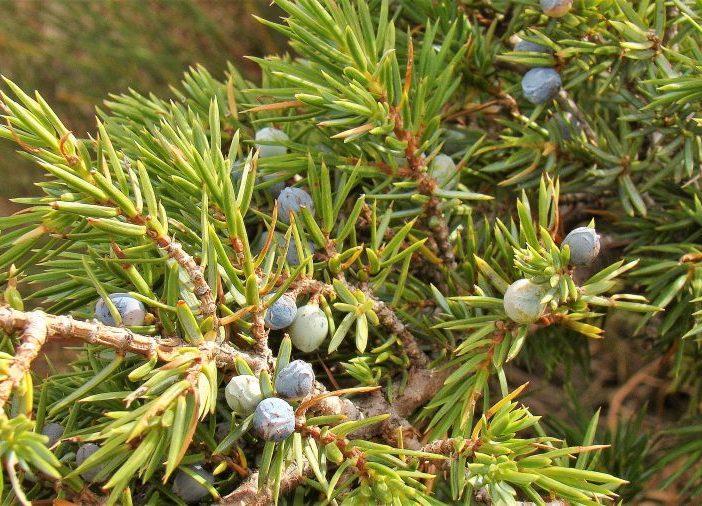 Fructificación Juniperus communis