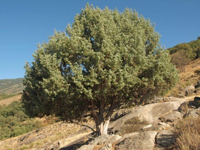 Porte Juniperus oxycedrus