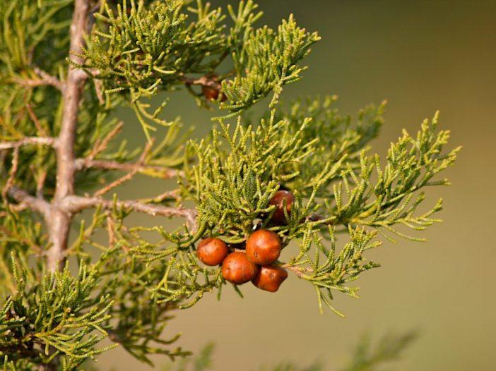 Frutos Juniperus phoenicea