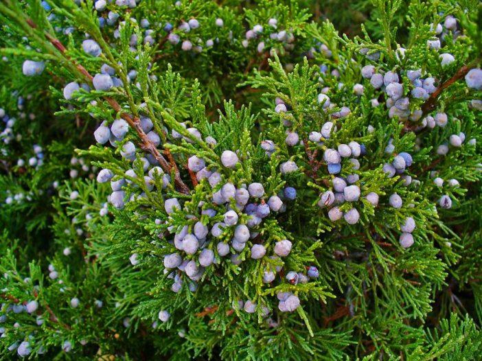Frutos Juniperus sabina