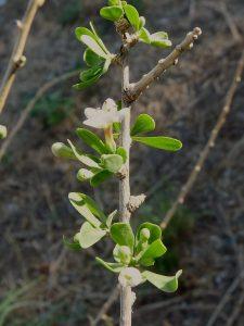 Flor Lycium europaeuL.