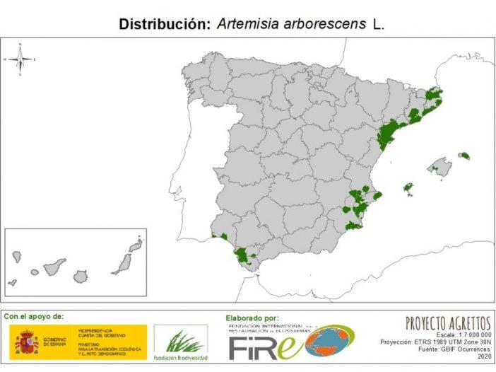 Artemisia arborescens L.