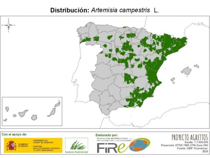 Artemisia campestris L