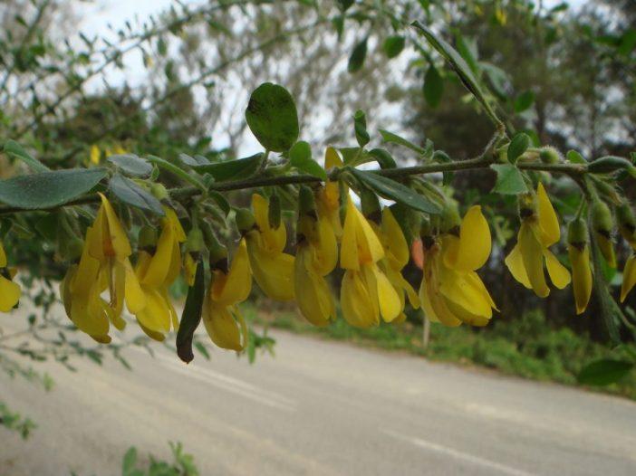 Floración Cytisus villosus