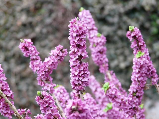 Floración Daphne mezereum