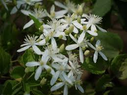 Floración Clematis flammula
