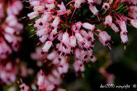 Floración Erica australis L.