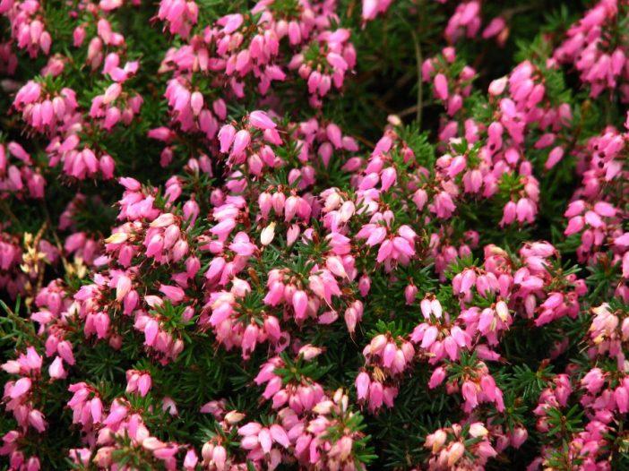 Floración Erica tetralix L.