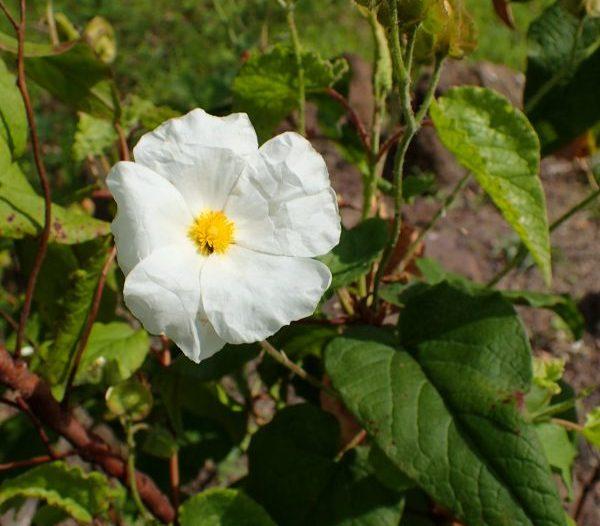 Floración Cistus populifolius