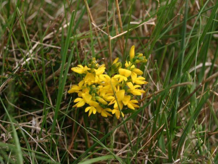 Floración Genista anglica L.