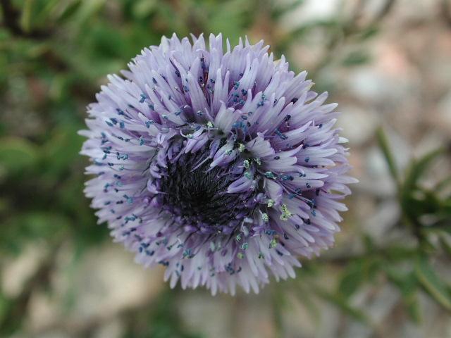 Flor Globularia alypum L.
