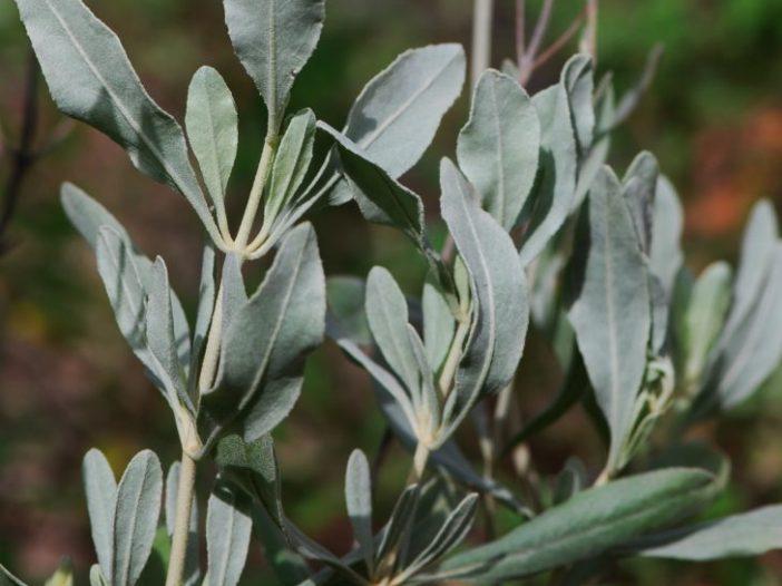 Hojas Halimium halimifolium Willk