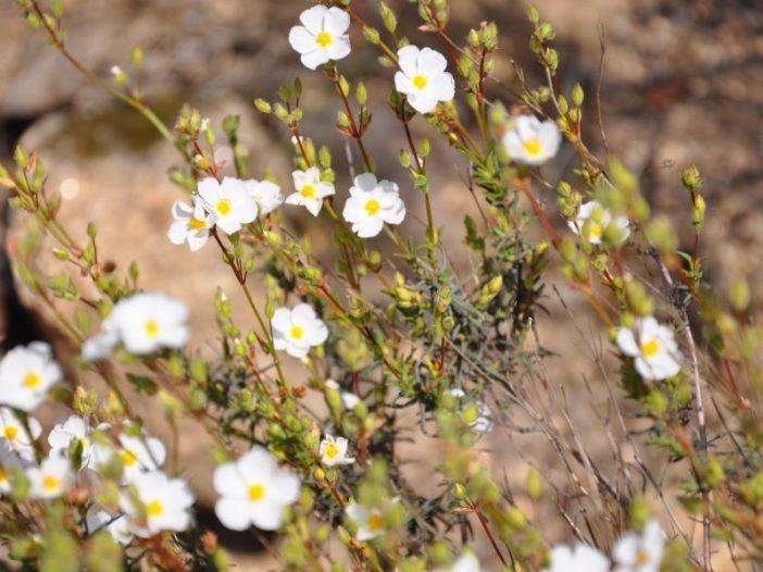 Flores Halimium umbellatum