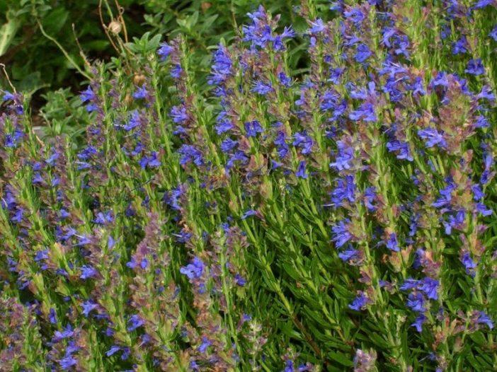 Floración Hyssopus officinalis