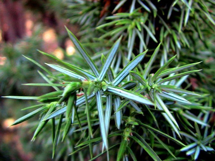 Hojas Juniperus oxycedrus L.