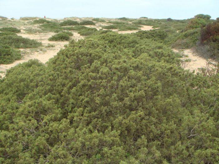 Porte Juniperus phoenicea