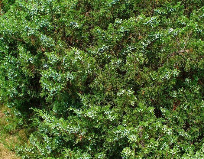 Porte Juniperus sabina