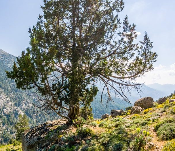 Porte Juniperus thurifera