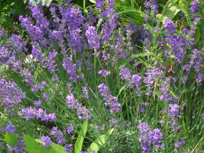 Flores Lavandula angustifolia Mill.