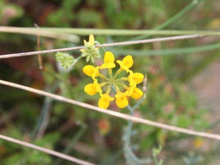 Flor Coronilla juncea