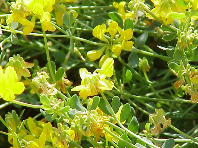 Floración Coronilla minima
