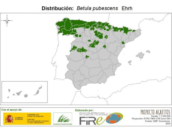 Betula pubescens Ehrh