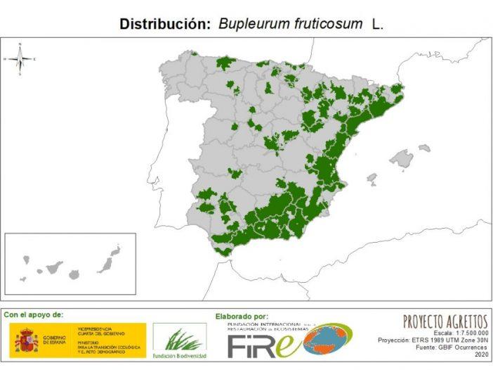 Bupleurum fruticosum L