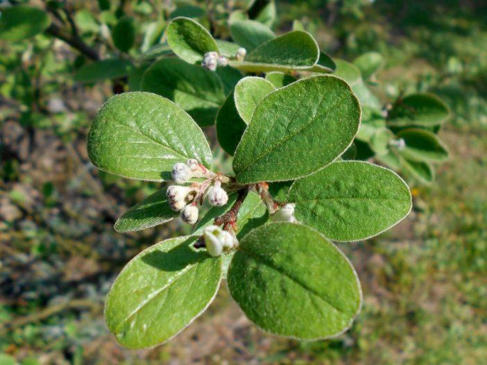 Inicio de floración Cotoneaster tomentosus