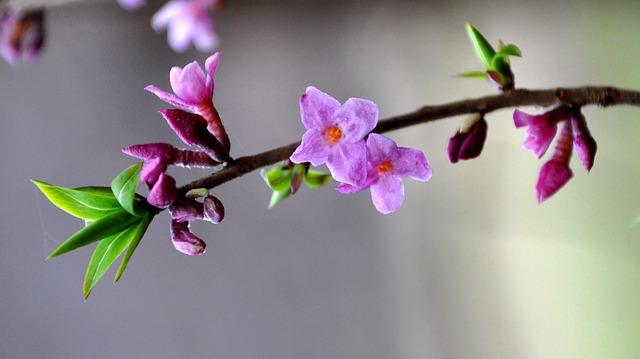 Flores Daphne mezereum