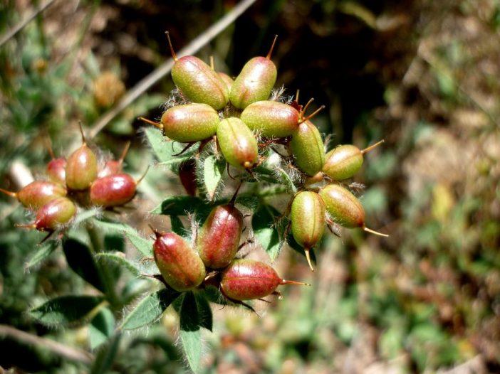 Fructificación Dorycnium hirsutum