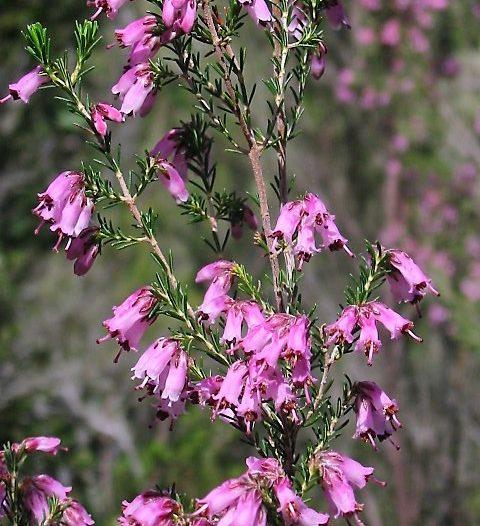 Floración Erica australis