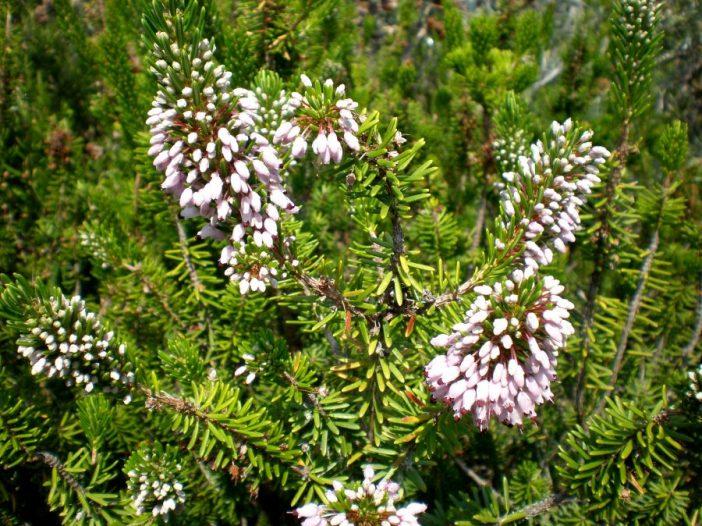 Floración Erica multiflora L.