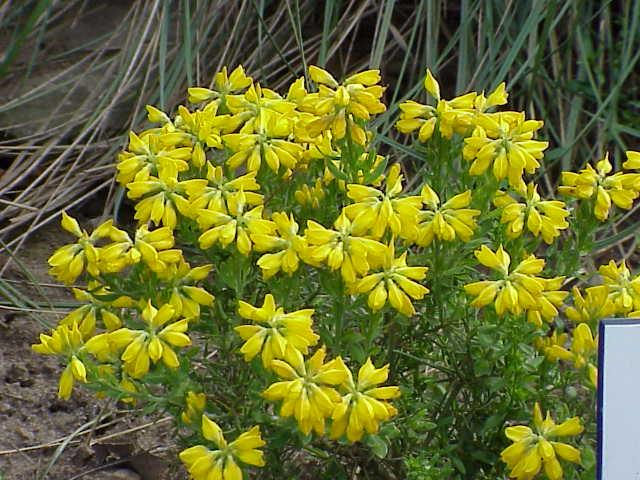 Floración Genista hispanica L.