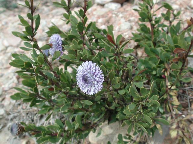 Porte Globularia alypum L.