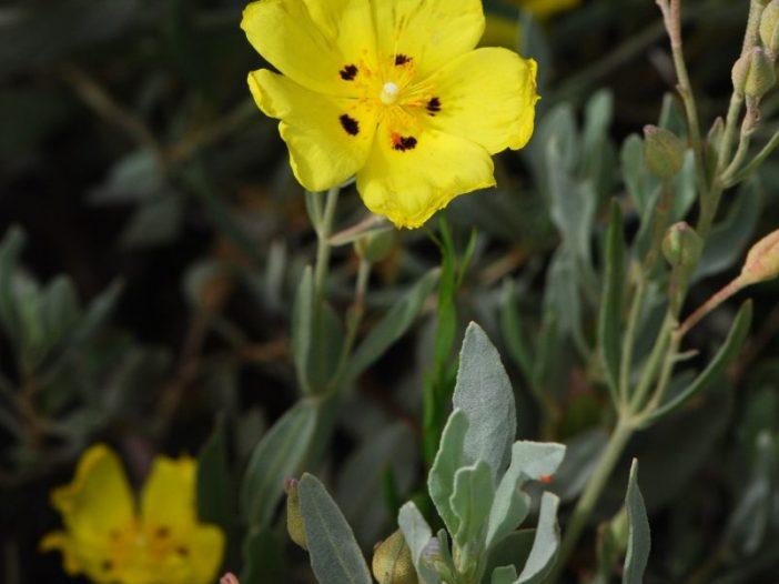 Flores Halimium halimifolium Willk