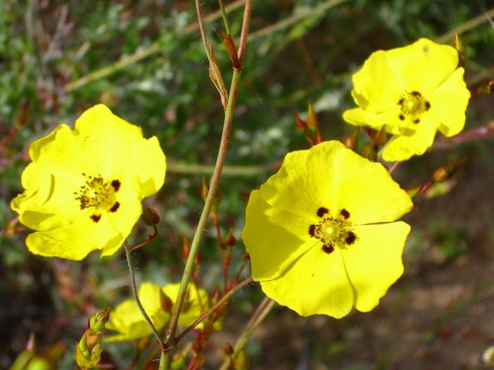 Flores Halimium ocymoides